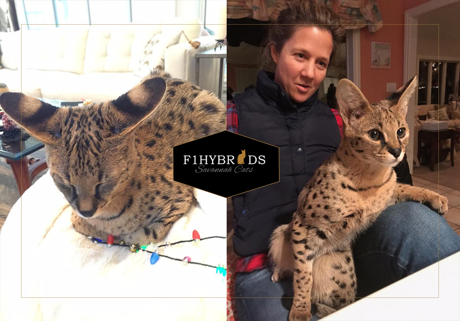 Eros, F1 Savannah Cat