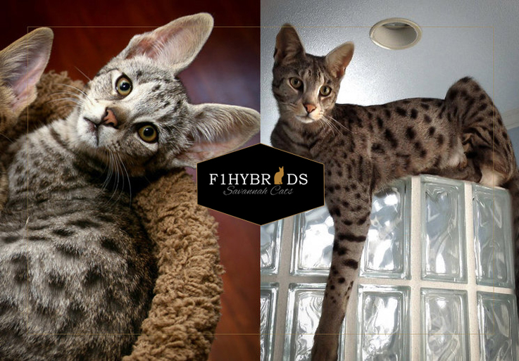Boomer F2 Savannah Cat