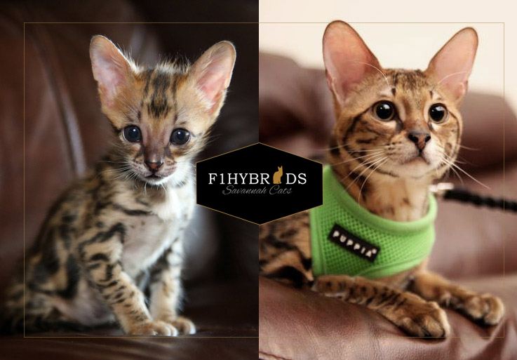 Maz - F2 Savannah Cat