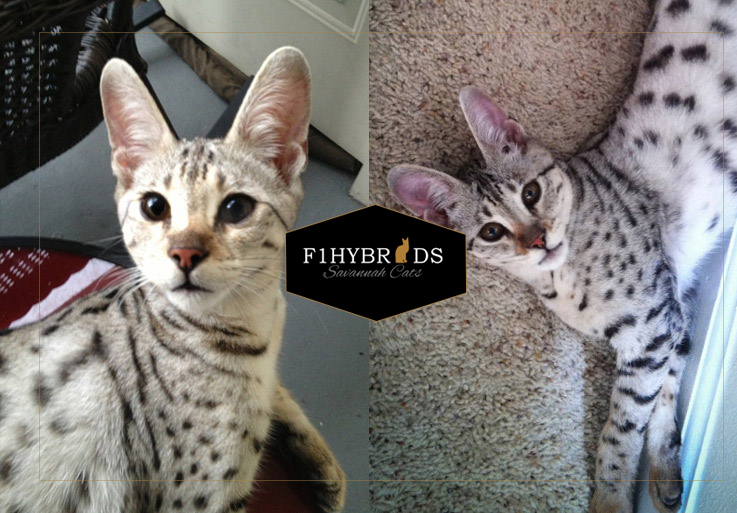 John Snow - F2 Savannah Cat