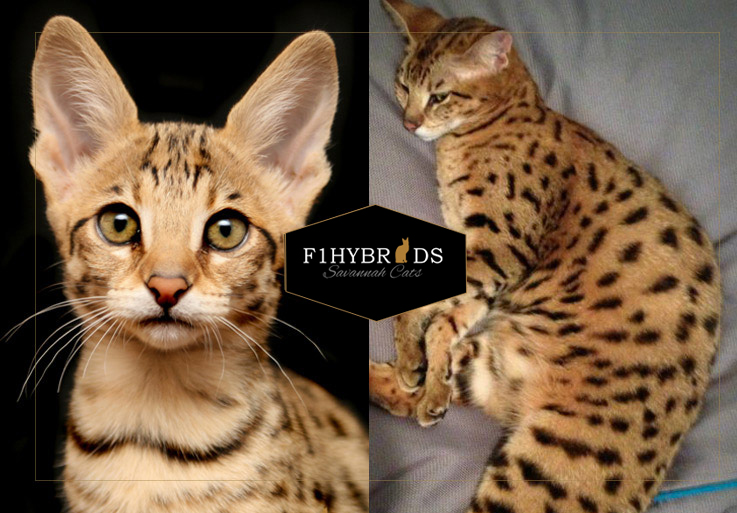 Amazon Jane – F2 Savannah Cat