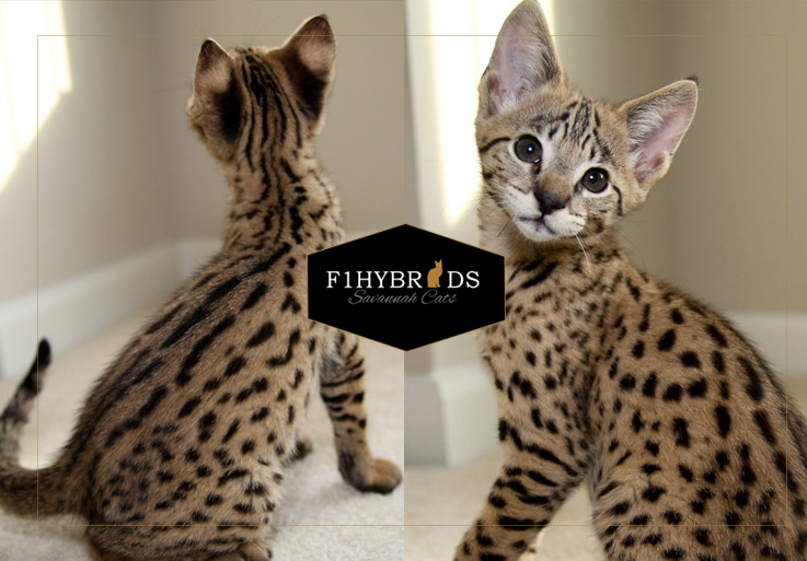 Thor - F2 Savannah Cat