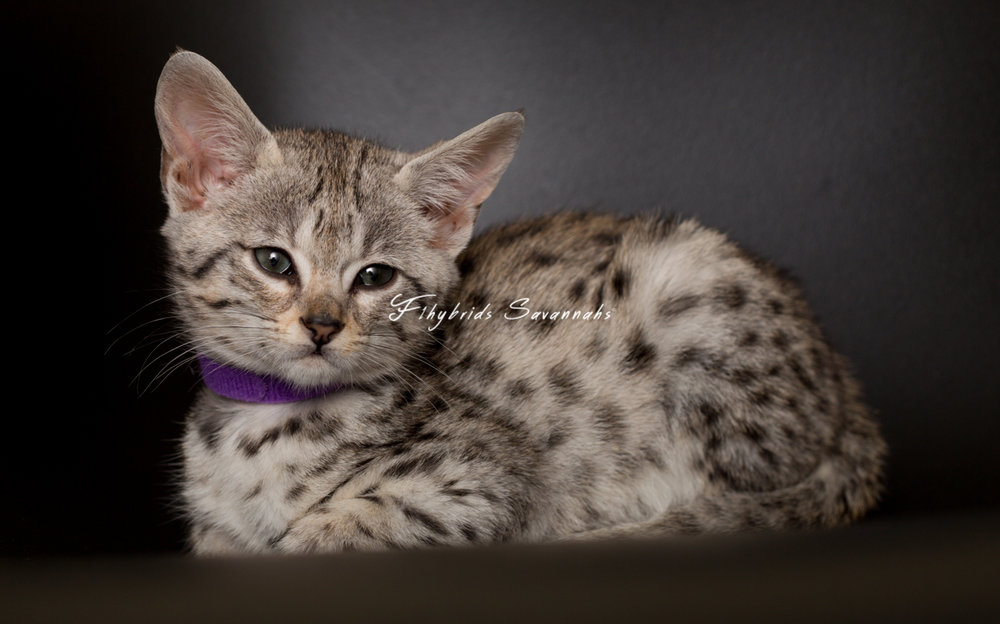 F2SavannahKittens(Snowball).April 16, 2017.31.jpg