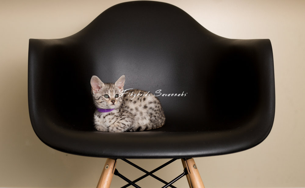 F2SavannahKittens(Snowball).April 16, 2017.27.jpg