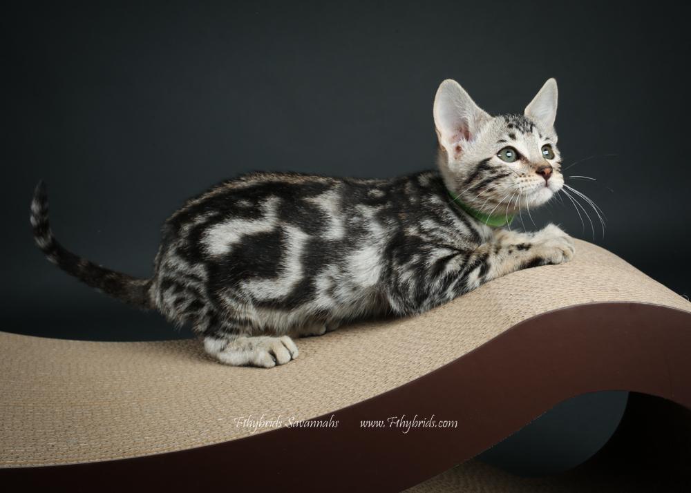 f1hybridssavannahcats-46.jpg
