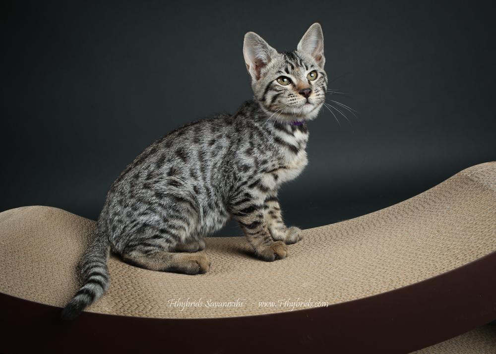 f1hybridssavannahcats-45.jpg