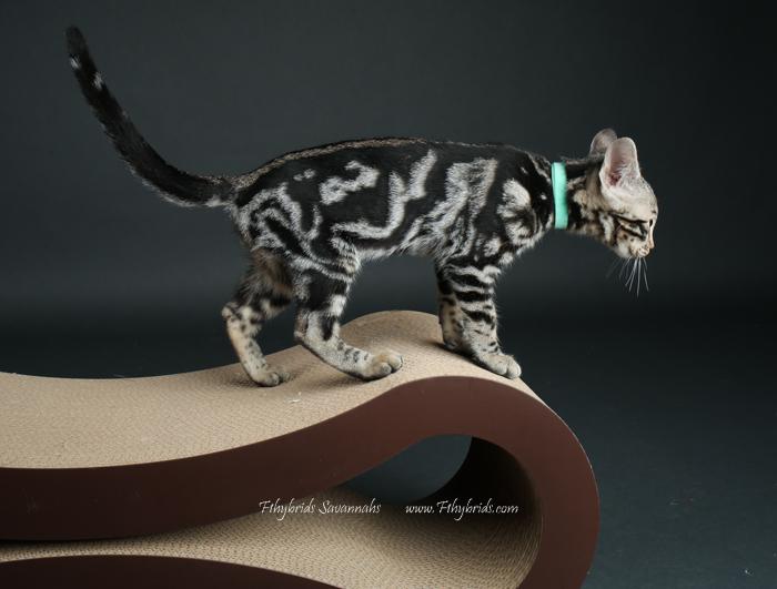 f1hybridssavannahcats-58.jpg