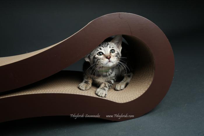 f1hybridssavannahcats-67.jpg