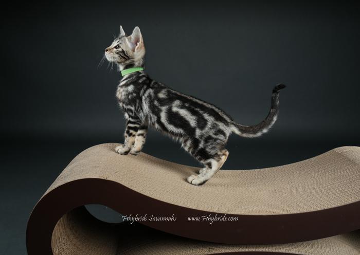 f1hybridssavannahcats-66.jpg