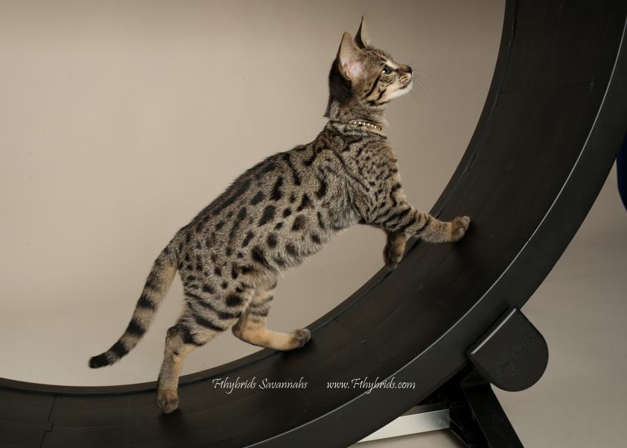 f1hybridssavannahcats-82.jpg