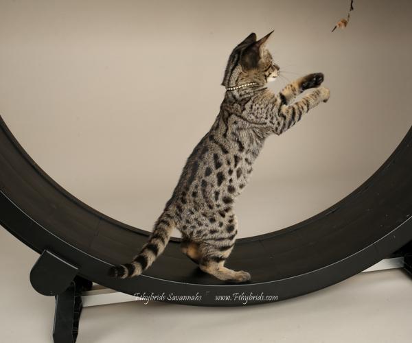 f1hybridssavannahcats.jpg