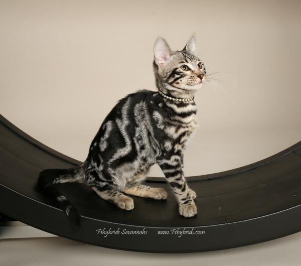 f1hybridssavannahcats-32.jpg