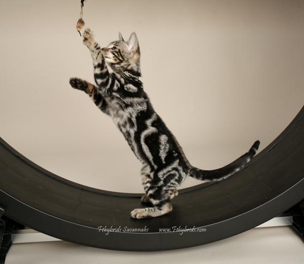 f1hybridssavannahcats-34.jpg