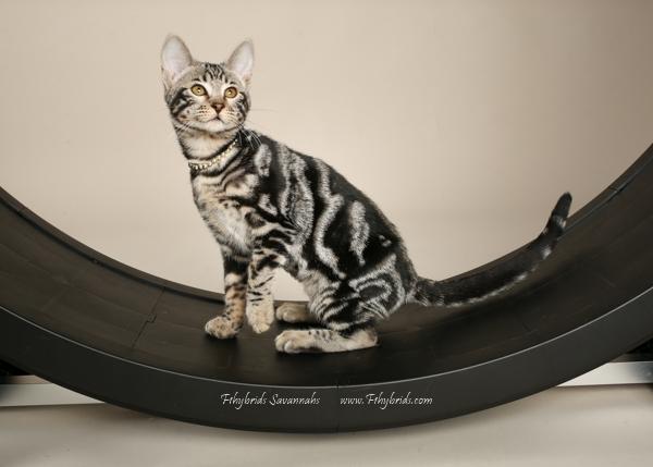 f1hybridssavannahcats-36.jpg