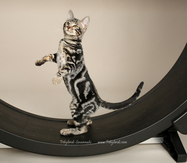 f1hybridssavannahcats-35.jpg