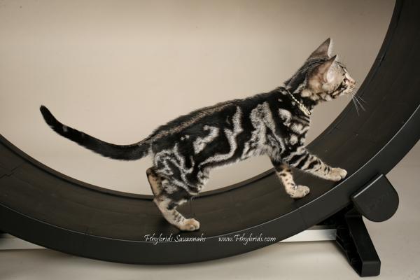 f1hybridssavannahcats-39.jpg
