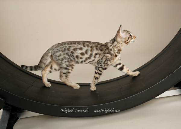 f1hybridssavannahcats-29.jpg