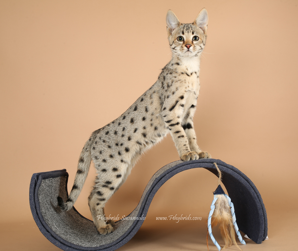F2 Savannah Cat (Golden Color)