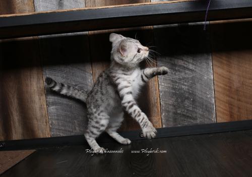 F2.Savannah.Cat.Joshia-4.jpg