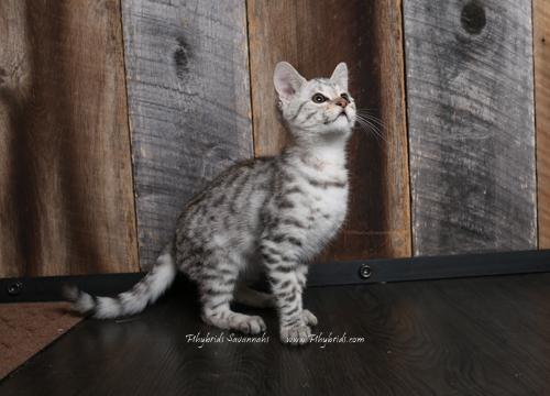 F2.Savannah.Cat.Joshia-6.jpg