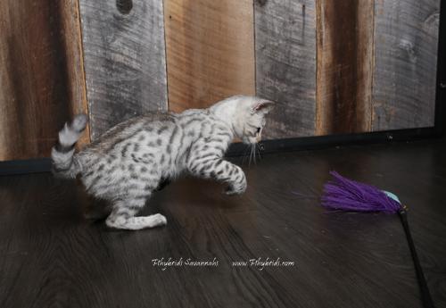 F2.Savannah.Cat.Joshia-8.jpg