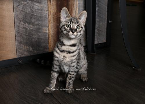 F2.Savannah.Cat.Felica-3.jpg