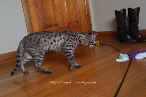 F2.Savannah.Cat.Felica-6.jpg