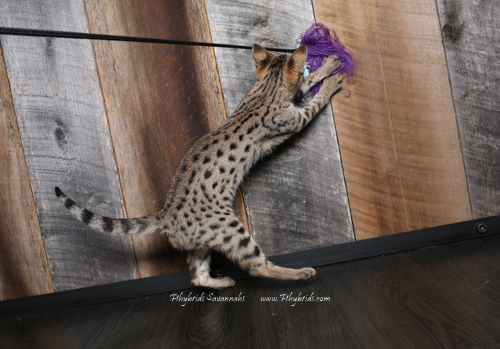 F2.Savannah.Cat.Heidi-8.jpg
