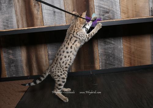 F2.Savannah.Cat.Heidi-11.jpg