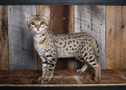 F2.Savannah.Cat.Heidi-12.jpg