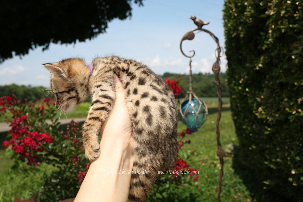 F2.Savannah.Kittens-31.jpg