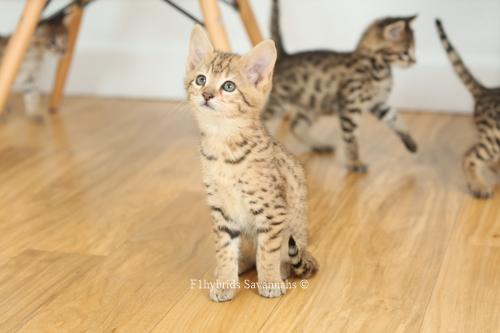 F1hybrids.F2.Savannah.Kittens.8.22.2018-8.jpg