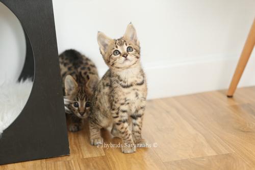 F1hybrids.F2.Savannah.Kittens.8.22.2018-11.jpg