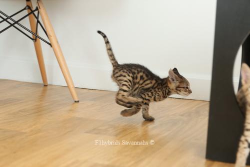 F1hybrids.F2.Savannah.Kittens.8.22.2018-58.jpg