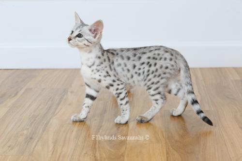 F1hybrids.Romeo.Juliet.F2.Savannah.Kittens-22.jpg