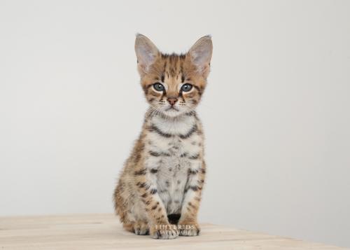 F1hybrids.F2.Savannah.Kittens.8.25.2018-30.jpg