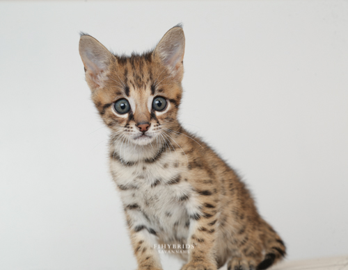 F1hybrids.F2.Savannah.Kittens.8.25.2018-31.jpg