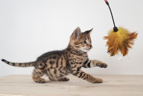 F1hybrids.F2.Savannah.Kittens.8.25.2018-5.jpg