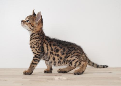 F1hybrids.F2.Savannah.Kittens.8.25.2018-8.jpg