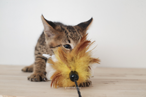 F1hybrids.F2.Savannah.Kittens.8.25.2018-9.jpg
