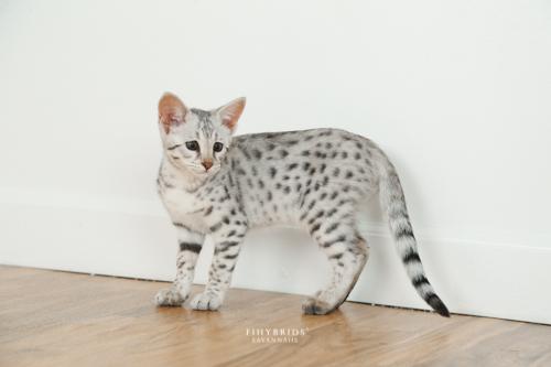 F1hybrids.F2.Savannah.Kittens.8.26-65.jpg