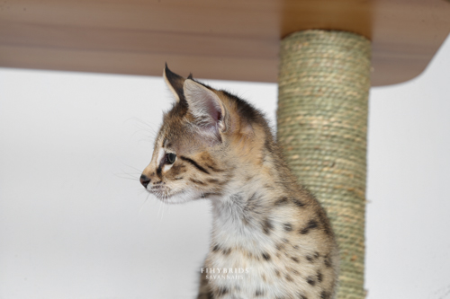F1hybrids.F2.Savannah.Kittens.BlueDuck-16.jpg