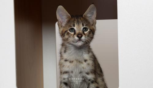 F1hybrids.F2.Savannah.Kittens.BlueDuck-11.jpg