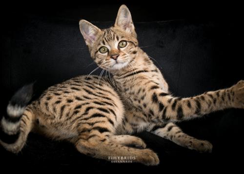Bambi.F1hybrids.F2.Savannah-14.jpg