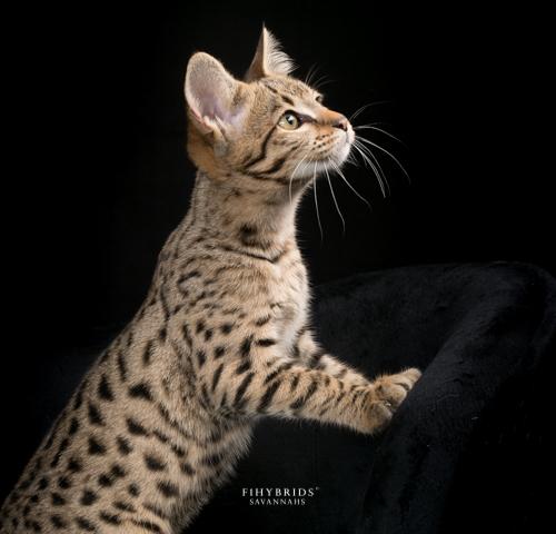 Bambi.F1hybrids.F2.Savannah-17.jpg