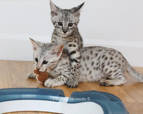 F1hybrids.Romeo.Juliet.F2.Savannah.Kittens-34.jpg