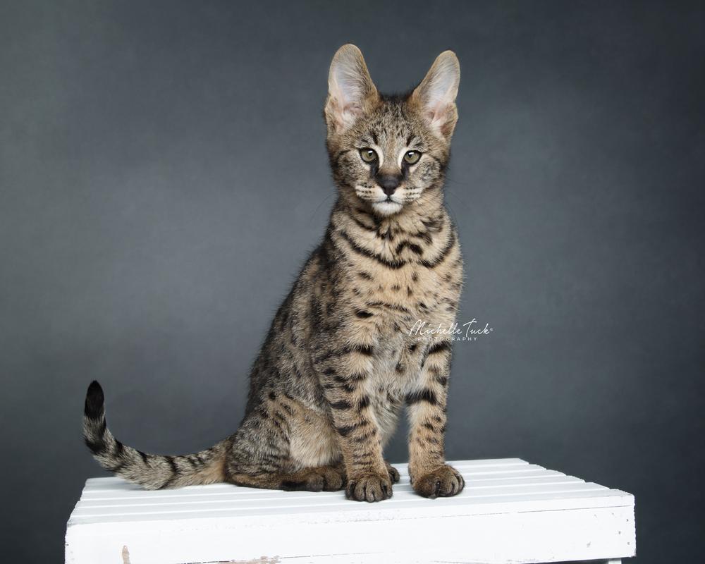 Madden - F2 Savannah Kitten