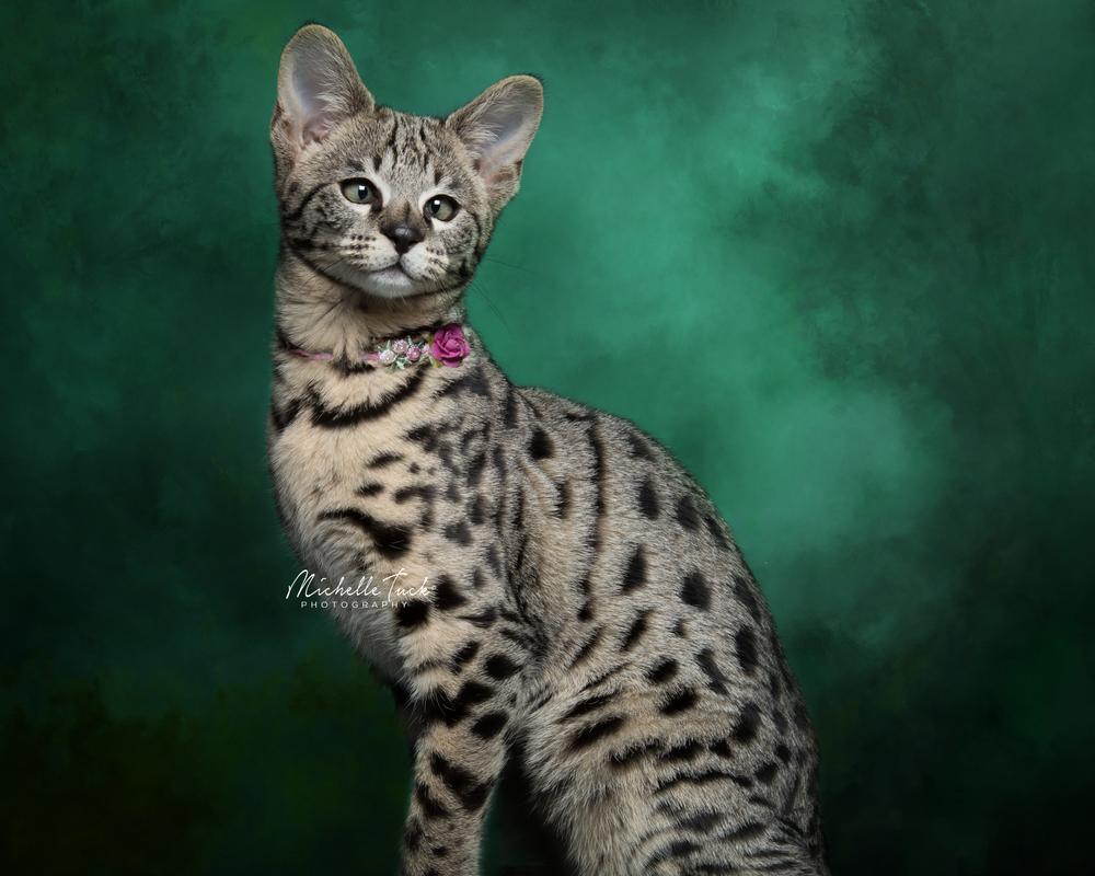 Maggie - F2 Savannah Kitten