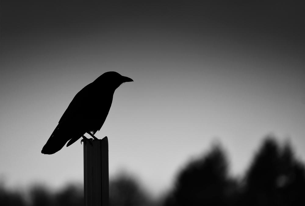 TAC Crow Silhouette 2 med.jpg