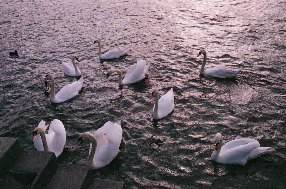 The Swans of Prague // Expired Fuji 800